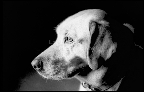 Yellow Lab in a Black & White Photo