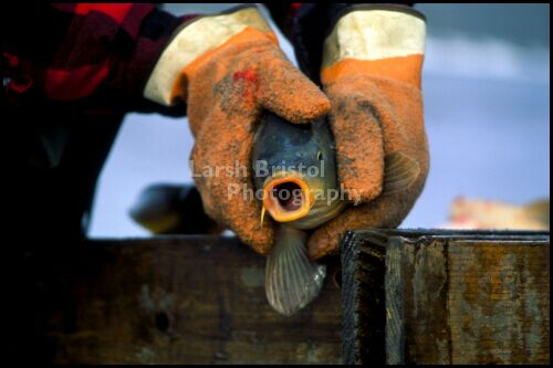 Fish with mouth open held by gloved hands
