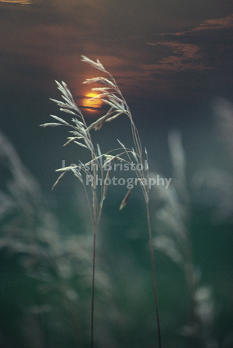 Grass and Setting Sun