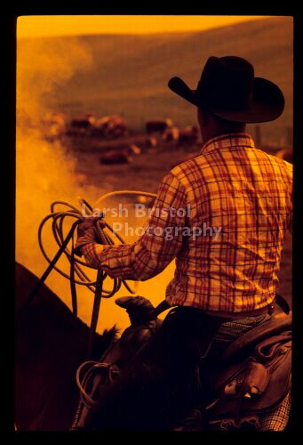 Cowboy working cattle