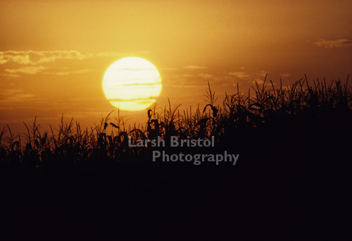 Sun setting on Corn field