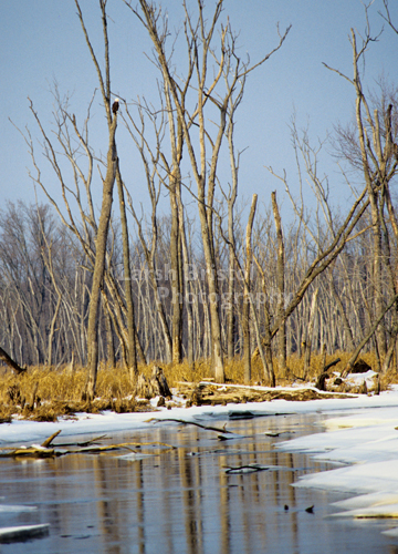 Watchful Eagle in Snowy Mississippi Backwaters