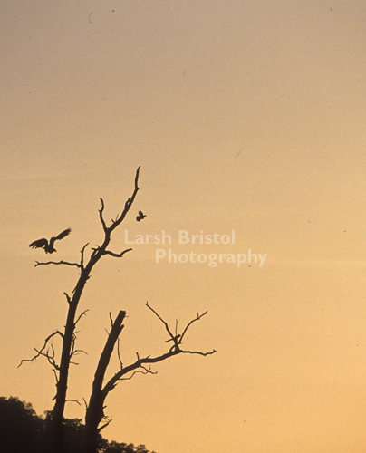 Silhouetted Birds