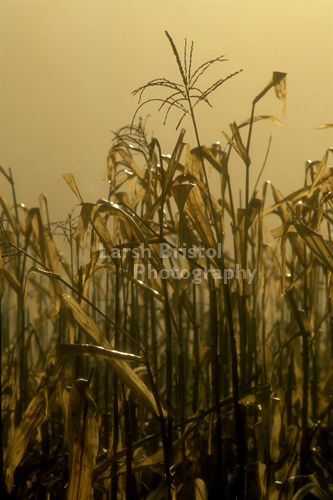 Wet Corn Stalks