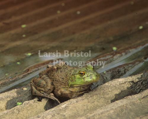 Muddy Frog