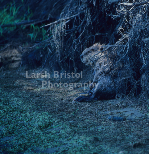Beaver Sitting on the River Banks - LBP20317