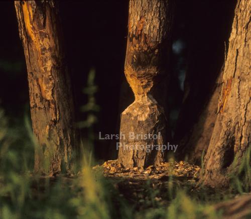 Beaver Eaten Trees - LBP20318