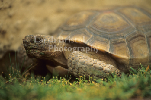 Grazing Turtle